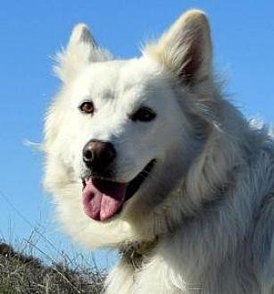 German Shepherd Dog Dog for adoption in San Diego, California - Aussie