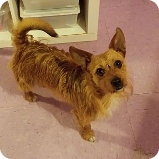 Cairn Terrier Mix Dog for adoption in Wilmington, Delaware - Chewy