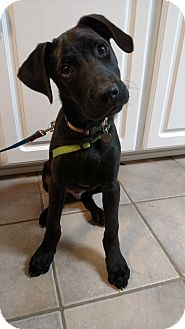 Labrador Retriever/Belgian Malinois Mix Puppy for adoption in Baltimore, Maryland - Peyton