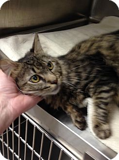 Maine Coon Cat for adoption in East Brunswick, New Jersey - Manny