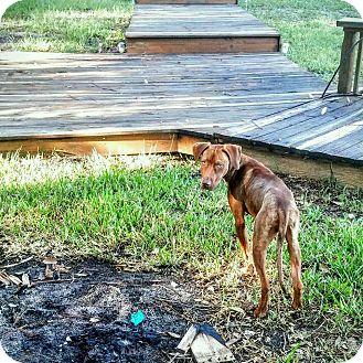 Hound (Unknown Type)/Pit Bull Terrier Mix Dog for adoption in Tampa, Florida - Bridgett
