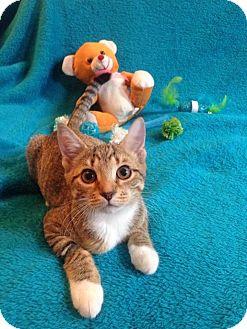Domestic Shorthair Kitten for adoption in Carlisle, Pennsylvania - Mittens