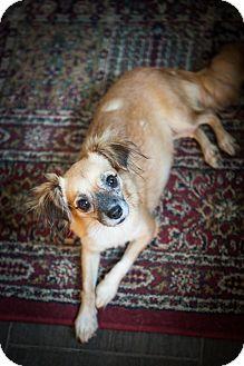 Chihuahua/Pekingese Mix Dog for adoption in Fort Atkinson, Wisconsin - Etta