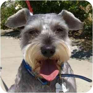 Schnauzer (Miniature) Dog for adoption in Redondo Beach, California - Spencer