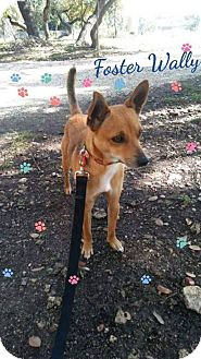 Chihuahua Mix Dog for adoption in Smithtown, New York - Wally