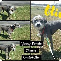 Adopt A Pet :: Olive - Snyder, TX