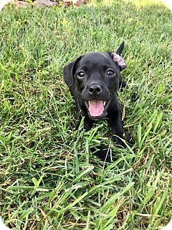 """Chihuahua/Dachshund Mix Puppy for adoption in Hagerstown, Maryland - Macaroon """"Mac"""" RBF"""