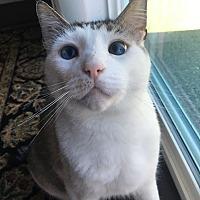 Adopt A Pet :: Smores - Tumwater, WA
