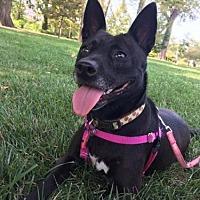Adopt A Pet :: Baby Bella - St. Louis, MO