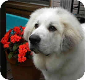 Great Pyrenees Puppy for adoption in Lehighton, Pennsylvania - Meg