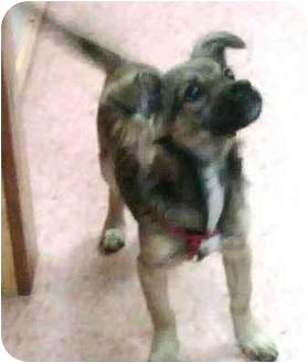 Chihuahua Mix Puppy for adoption in Tarzana, California - Sadie Hawkins