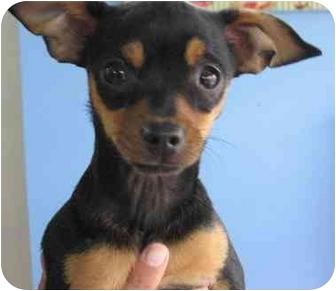Miniature Pinscher/Chihuahua Mix Puppy for adoption in Poway, California - KODA
