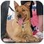 Photo 1 - Basenji/Labrador Retriever Mix Dog for adoption in Vista, California - Daphne