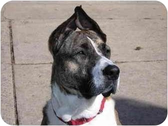 Great Dane/Mastiff Mix Dog for adoption in Raritan, New Jersey - Sophie