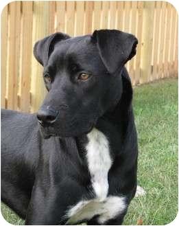 Retriever (Unknown Type)/Border Collie Mix Puppy for adoption in Greenville, North Carolina - Abbott