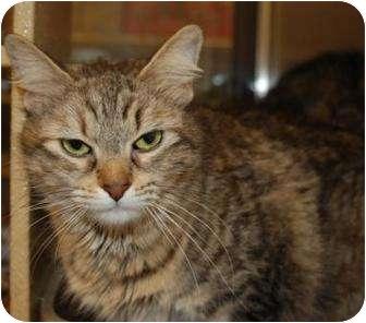 Domestic Mediumhair Cat for adoption in Houston, Texas - Shauna