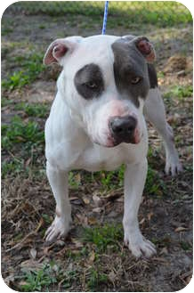 American Pit Bull Terrier Dog for adoption in Orlando, Florida - Harley