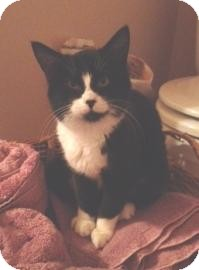Domestic Shorthair Cat for adoption in West Des Moines, Iowa - Fiona