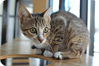 Domestic Shorthair Kitten for adoption in Portland, Oregon - Lucy