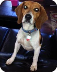 Beagle Dog for adoption in Houston, Texas - Timothy