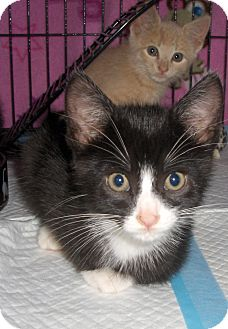 Domestic Shorthair Kitten for adoption in Richmond, Virginia - Cody