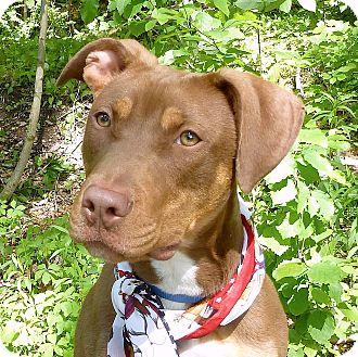 Doberman Pinscher Mix Dog for adoption in Carmel, New York - Twix