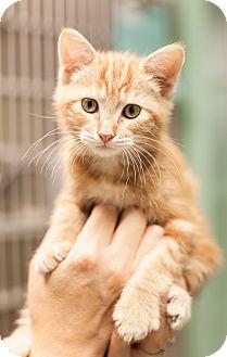 Domestic Shorthair Kitten for adoption in Dallas, Texas - Liam