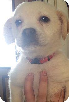 Labrador Retriever/Australian Cattle Dog Mix Puppy for adoption in River Falls, Wisconsin - Zombie
