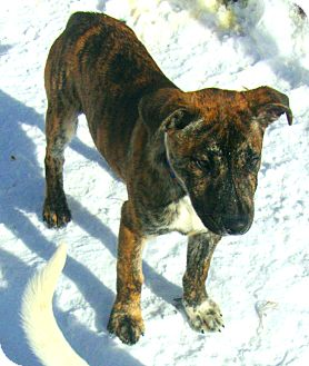 Boxer Mix Puppy for adoption in Coudersport, Pennsylvania - BULLIE