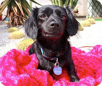 Dachshund/Papillon Mix Dog for adoption in Los Angeles, California - Lola