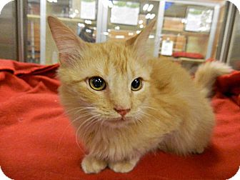 Domestic Shorthair Cat for adoption in The Colony, Texas - Trevor