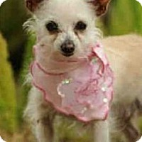 Adopt A Pet :: Tulip - Toluca Lake, CA