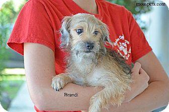 Dachshund/Schnauzer (Standard) Mix Dog for adoption in Danielsville, Georgia - Brandi