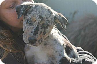 Labrador Retriever/Catahoula Leopard Dog Mix Puppy for adoption in Williston, Vermont - Baboo