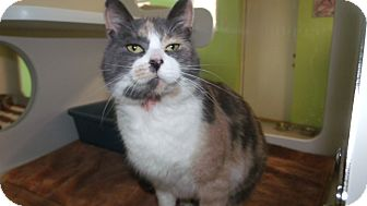Domestic Shorthair Cat for adoption in Muskegon, Michigan - Liesel