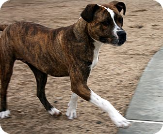 Pit Bull Terrier Mix Dog for adoption in Yucca Valley, California - Zero Lulu Maramont