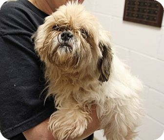 Shih Tzu Mix Dog for adoption in Elyria, Ohio - Lorna Doone