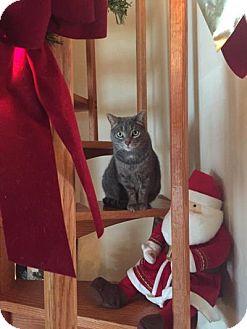 Domestic Shorthair Cat for adoption in Salamanca, New York - Millie