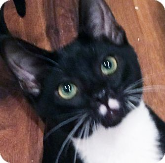 Domestic Shorthair Cat for adoption in Irvine, California - Panther