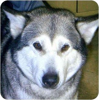 Alaskan Malamute Dog for adoption in Various Locations, Indiana - Kiska
