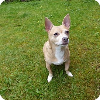 Chihuahua Mix Dog for adoption in Bellingham, Washington - Sammy