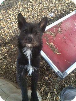 Cairn Terrier/Dachshund Mix Dog for adoption in Fair Oaks Ranch, Texas - Hobie