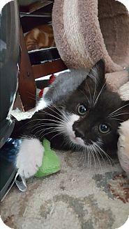 Domestic Mediumhair Kitten for adoption in Pottstown, Pennsylvania - Bustopher Jones