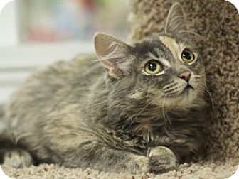 Domestic Longhair Kitten for adoption in Great Falls, Montana - Prim