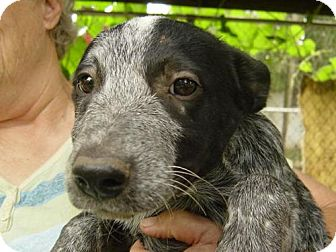 Australian Cattle Dog Puppy for adoption in Cushing, Oklahoma - MORTY adopted