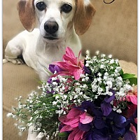 Adopt A Pet :: Josie - Pascagoula, MS