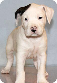 American Bulldog Mix Puppy for adoption in Waldorf, Maryland - Jim Beam
