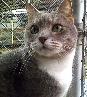 Domestic Mediumhair Cat for adoption in Santa Rosa, California - Amy
