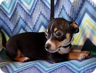 Chihuahua Mix Puppy for adoption in Buffalo, New York - Cucumber