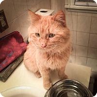 Adopt A Pet :: Sampson - Roseville, MN